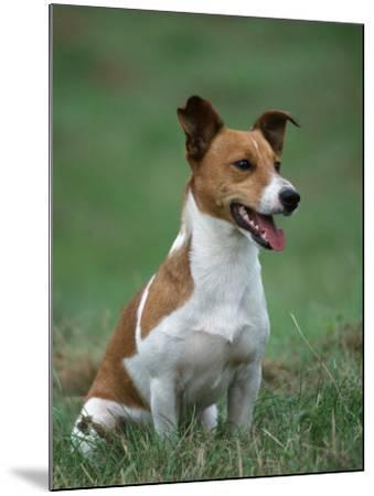 Jack Russell Terrier-Petra Wegner-Mounted Photographic Print
