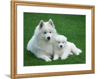 Samoyed with 6 Weeks Old Puppy-Petra Wegner-Framed Photographic Print