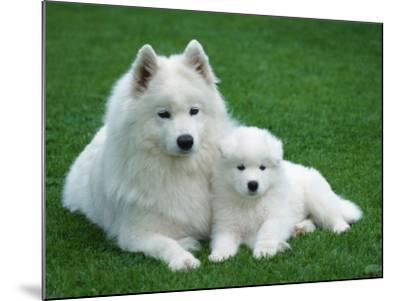 Samoyed with 6 Weeks Old Puppy-Petra Wegner-Mounted Photographic Print