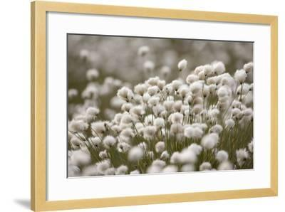 Harestail Cottongrass in Flower, Flow Country, Caithness, Highland, Scotland, UK, May-Peter Cairns-Framed Photographic Print