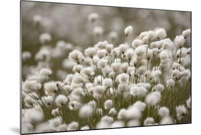 Harestail Cottongrass in Flower, Flow Country, Caithness, Highland, Scotland, UK, May-Peter Cairns-Mounted Photographic Print