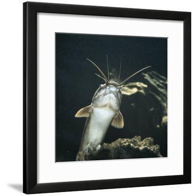 Clarias Catfish Showing Barbels-Jane Burton-Framed Photographic Print