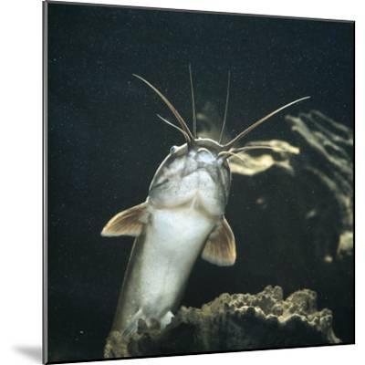 Clarias Catfish Showing Barbels-Jane Burton-Mounted Photographic Print