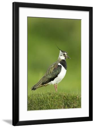Lapwing (Vanellus Vanellus) Adult in Breeding Plumage, Scotland, UK, June-Mark Hamblin-Framed Photographic Print