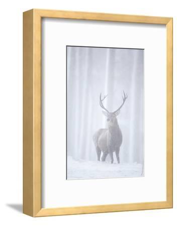Red Deer (Cervus Elaphus) Stag in Pine Forest in Snow Blizzard, Cairngorms Np, Scotland, UK-Peter Cairns-Framed Photographic Print