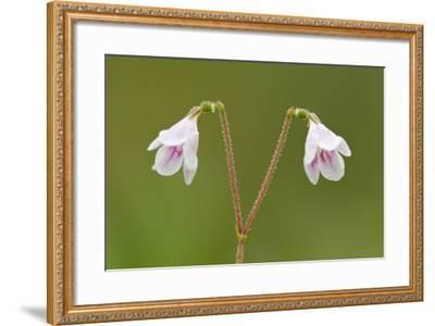 Twinflower (Linnaea Borealis) in Flower in Pine Woodland, Abernethy National Nr, Scotland, UK-Mark Hamblin-Framed Photographic Print