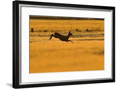 Roe Deer (Capreolus Capreolus) Doe Leaping Through Barley Field in Dawn Light. Perthshire, Scotland-Fergus Gill-Framed Photographic Print