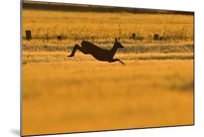 Roe Deer (Capreolus Capreolus) Doe Leaping Through Barley Field in Dawn Light. Perthshire, Scotland-Fergus Gill-Mounted Photographic Print