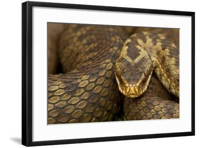 Adder (Vipera Berus) Basking in the Spring, Staffordshire, England, UK, April-Danny Green-Framed Photographic Print
