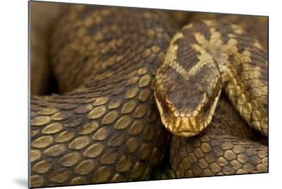 Adder (Vipera Berus) Basking in the Spring, Staffordshire, England, UK, April-Danny Green-Mounted Photographic Print