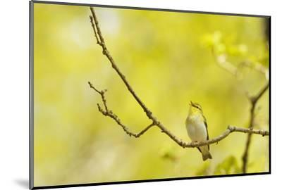 Wood Warbler (Phylloscopus Sibilatrix) Singing from Oak, Atlantic Oakwoods of Sunart, Scotland-Fergus Gill-Mounted Photographic Print
