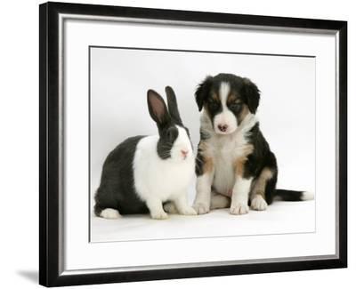 Tricolour Border Collie Puppy with Blue Dutch Rabbit-Jane Burton-Framed Photographic Print