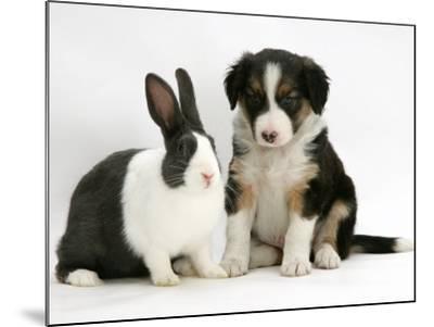 Tricolour Border Collie Puppy with Blue Dutch Rabbit-Jane Burton-Mounted Photographic Print
