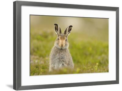 Mountain Hare (Lepus Timidus) Sub-Adult Leveret, Cairngorms National Park, Scotland, UK, July-Fergus Gill-Framed Photographic Print