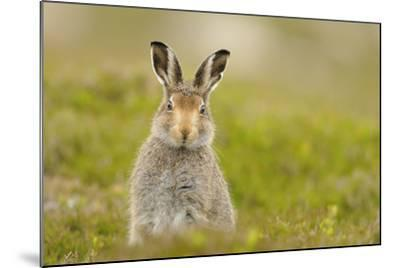 Mountain Hare (Lepus Timidus) Sub-Adult Leveret, Cairngorms National Park, Scotland, UK, July-Fergus Gill-Mounted Photographic Print