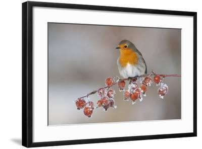 Adult Robin (Erithacus Rubecula) in Winter, Perched on Twig with Frozen Crab Apples, Scotland, UK-Mark Hamblin-Framed Photographic Print