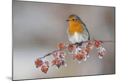 Adult Robin (Erithacus Rubecula) in Winter, Perched on Twig with Frozen Crab Apples, Scotland, UK-Mark Hamblin-Mounted Photographic Print