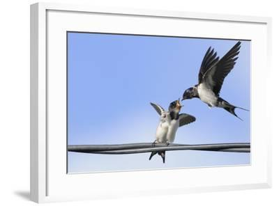 Barn Swallow (Hirundo Rustica) Feeding a Fledgling on a Wire. Perthshire, Scotland, September-Fergus Gill-Framed Photographic Print