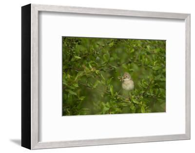 Whitethroat (Sylvia Communis) Adult Perched in Blackthorn Hedgerow with Insect, Cambridgeshire, UK-Andrew Parkinson-Framed Photographic Print