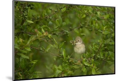 Whitethroat (Sylvia Communis) Adult Perched in Blackthorn Hedgerow with Insect, Cambridgeshire, UK-Andrew Parkinson-Mounted Photographic Print