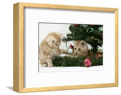 Two Ginger Kittens Playing with Decorations in a Christmas Tree-Mark Taylor-Framed Photographic Print