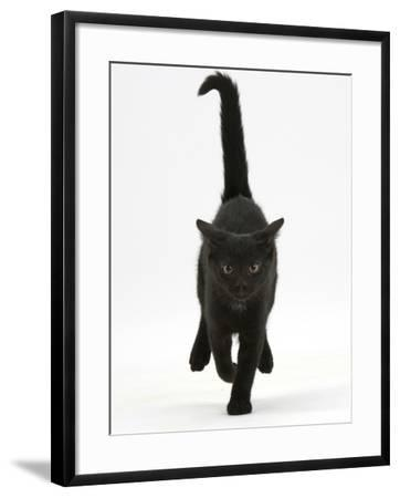 Black Male Kitten, Buxie, 12 Weeks Old, Running Forward-Mark Taylor-Framed Photographic Print