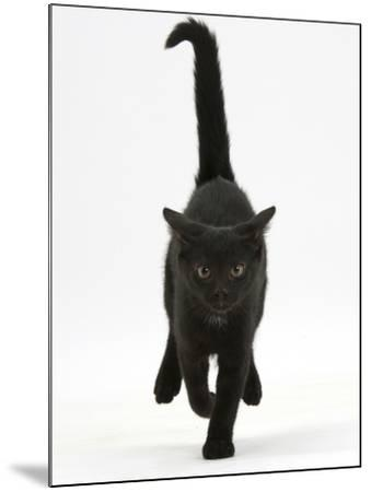 Black Male Kitten, Buxie, 12 Weeks Old, Running Forward-Mark Taylor-Mounted Photographic Print