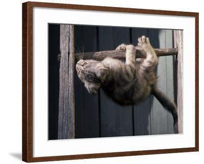 Scottish Fold Cat Hanging Upside-Down from Ladder Rung, Italy-Adriano Bacchella-Framed Photographic Print