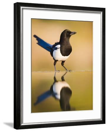 Magpie Coming to Drink at a Pool, Alicante, Spain-Niall Benvie-Framed Photographic Print