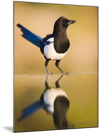 Magpie Coming to Drink at a Pool, Alicante, Spain-Niall Benvie-Mounted Photographic Print