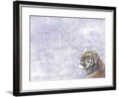 Siberian Tiger Looking Up in Snow-Edwin Giesbers-Framed Photographic Print