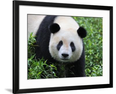 Giant Panda Bifengxia Giant Panda Breeding and Conservation Center, China-Eric Baccega-Framed Photographic Print