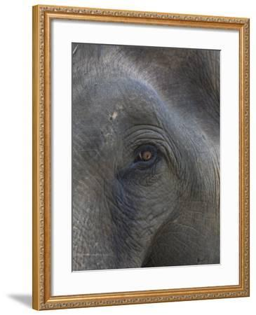 Indian Elephant Close Up of Eye, Controlled Conditions, Bandhavgarh Np, Madhya Pradesh, India-T^j^ Rich-Framed Photographic Print