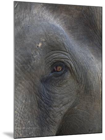 Indian Elephant Close Up of Eye, Controlled Conditions, Bandhavgarh Np, Madhya Pradesh, India-T^j^ Rich-Mounted Photographic Print