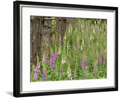 Foxgloves Flowering in Coastal Woodland, Norfolk, UK-Gary Smith-Framed Photographic Print