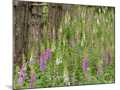 Foxgloves Flowering in Coastal Woodland, Norfolk, UK-Gary Smith-Mounted Photographic Print