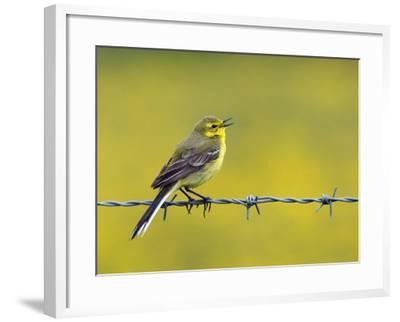 Yellow Wagtail Male Singing from Barbed Wire Fence, Upper Teesdale, Co Durham, England, UK-Andy Sands-Framed Photographic Print