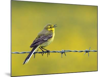 Yellow Wagtail Male Singing from Barbed Wire Fence, Upper Teesdale, Co Durham, England, UK-Andy Sands-Mounted Photographic Print