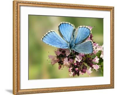 Adonis Blue Male Feeding on Marjoram, Oxfordshire, England, UK-Andy Sands-Framed Photographic Print