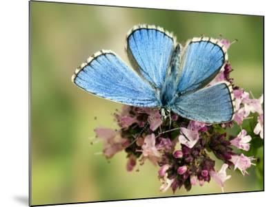 Adonis Blue Male Feeding on Marjoram, Oxfordshire, England, UK-Andy Sands-Mounted Photographic Print
