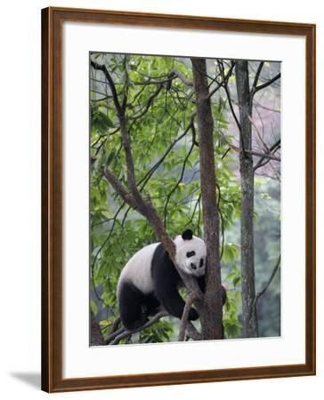 Giant Panda Climbing in a Tree Bifengxia Giant Panda Breeding and Conservation Center, China-Eric Baccega-Framed Photographic Print