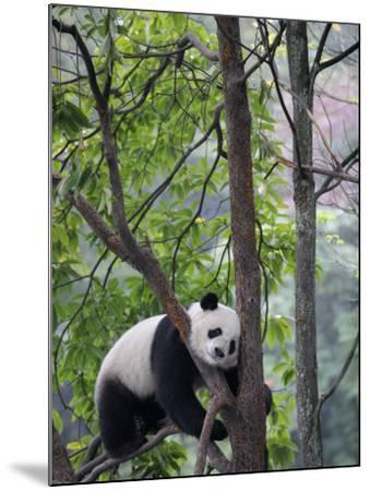 Giant Panda Climbing in a Tree Bifengxia Giant Panda Breeding and Conservation Center, China-Eric Baccega-Mounted Photographic Print
