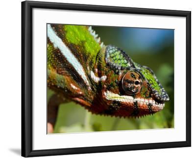 Panther Chameleon Showing Colour Change, Sambava, North-East Madagascar-Inaki Relanzon-Framed Photographic Print