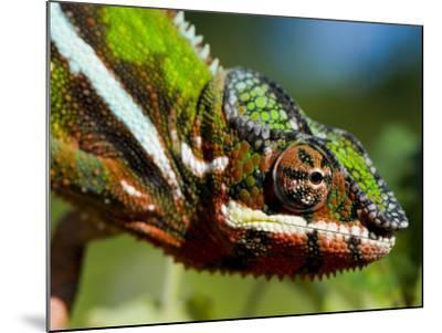 Panther Chameleon Showing Colour Change, Sambava, North-East Madagascar-Inaki Relanzon-Mounted Photographic Print
