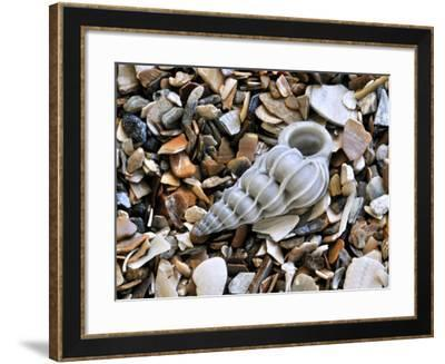 Common Wentletrap Shell on Beach, Belgium-Philippe Clement-Framed Photographic Print
