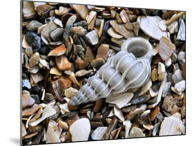 Common Wentletrap Shell on Beach, Belgium-Philippe Clement-Mounted Photographic Print