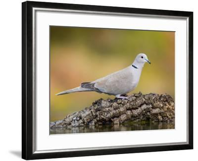 Collared Dove at Water's Edge, Alicante, Spain-Niall Benvie-Framed Photographic Print