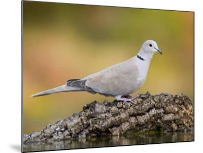 Collared Dove at Water's Edge, Alicante, Spain-Niall Benvie-Mounted Photographic Print