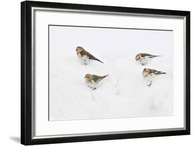 Snow Buntings (Plectrophenax Nivalis) Searching for Food in Snow, Cairngorms Np, Scotland, UK-Fergus Gill-Framed Photographic Print