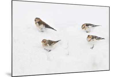 Snow Buntings (Plectrophenax Nivalis) Searching for Food in Snow, Cairngorms Np, Scotland, UK-Fergus Gill-Mounted Photographic Print